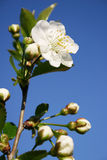 tree för blomningblommafjäder Fotografering för Bildbyråer