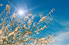 tree för blomningplommonfjäder Royaltyfri Fotografi