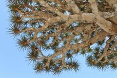 tree för cinnabaridracaenadrake royaltyfri foto