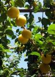 tree för citroner för filialgruppcitron royaltyfri fotografi