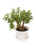 tree för crassulahouseplantpengar Arkivbild