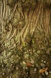 tree för detalj för skällkastanjclose Arkivfoton