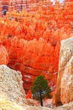 tree för färgrika hoodoos för brycekanjon ensam arkivfoton