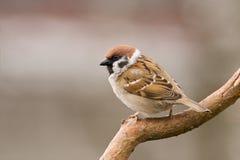 tree för fågel sparrow1 Fotografering för Bildbyråer