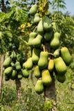 tree för isiolokenya nordlig papaya Arkivfoto