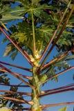 tree för isiolokenya nordlig papaya Royaltyfri Fotografi