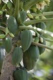 tree för isiolokenya nordlig papaya Arkivbild