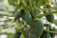 tree för isiolokenya nordlig papaya Royaltyfri Foto