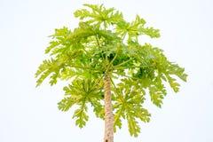 tree för isiolokenya nordlig papaya Fotografering för Bildbyråer