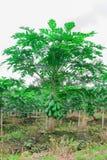 tree för isiolokenya nordlig papaya Royaltyfria Foton