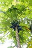 tree för isiolokenya nordlig papaya Royaltyfria Bilder