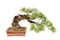 Tree för kaskadstilbonsai på white Royaltyfri Fotografi