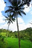 tree för kokosnötfältrice Royaltyfria Bilder