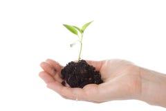 tree för kvinnlighandtransplantat Arkivfoton