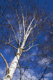 tree för lake för bakgrundsbaikal björk Fotografering för Bildbyråer