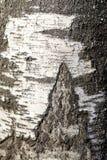 tree för lake för bakgrundsbaikal björk royaltyfri illustrationer