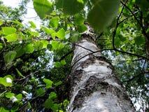 tree för lake för bakgrundsbaikal björk royaltyfria bilder