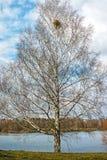 tree för lake för bakgrundsbaikal björk arkivfoto
