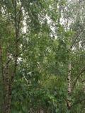 tree för lake för bakgrundsbaikal björk arkivbilder
