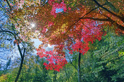 tree för leaflönnred Arkivfoton