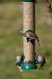 tree för montanusförbipasserandesparrow Arkivfoto