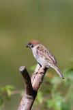 tree för montanusförbipasserandesparrow Royaltyfria Foton