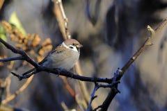 tree för montanusförbipasserandesparrow Fotografering för Bildbyråer