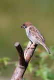 tree för montanusförbipasserandesparrow Royaltyfri Fotografi