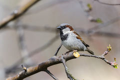tree för montanusförbipasserandesparrow Arkivbild