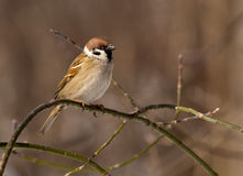 tree för montanusförbipasserandesparrow royaltyfri foto