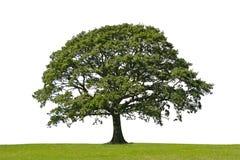 tree för oakstrykesymbol Royaltyfri Bild