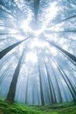 tree för panorama för granskogmorgon royaltyfri fotografi