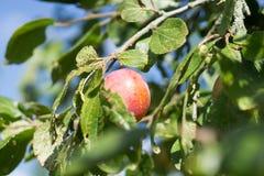 tree för plommon för frukt för jordbrukfilialbegrepp smaklig Arkivbilder