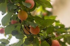 tree för plommon för frukt för jordbrukfilialbegrepp smaklig Royaltyfri Fotografi