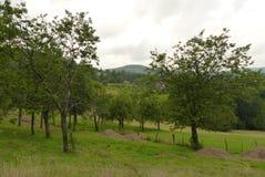 tree för plommon för frukt för jordbrukfilialbegrepp smaklig Royaltyfri Bild