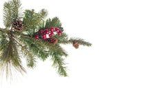tree för red för gran för bärfilialkottar Royaltyfri Foto