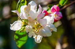 tree för red för pears för pear för bakgrundslövverkgreen arkivbild