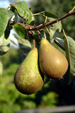 tree för red för pears för pear för bakgrundslövverkgreen Royaltyfri Bild