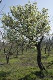 tree för red för pears för pear för bakgrundslövverkgreen Arkivfoton