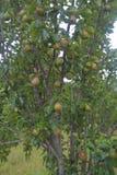 tree för red för pears för pear för bakgrundslövverkgreen royaltyfri foto