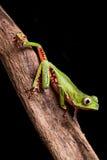 tree för regn för amazon brazil skoggroda Royaltyfria Bilder