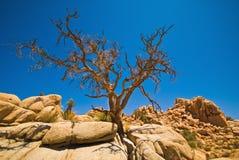tree för rock för bildandejoshua nationalpark arkivbild