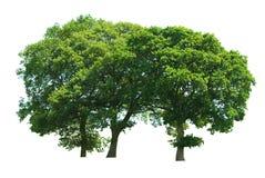 tree för småskog tre Arkivbild