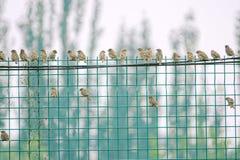 tree för sparrow för eurasianmontanusförbipasserande Arkivbild