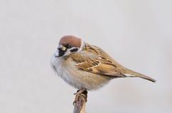 tree för sparrow för akamontanusförbipasserande fotografering för bildbyråer
