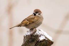 tree för sparrow för akamontanusförbipasserande Royaltyfria Bilder