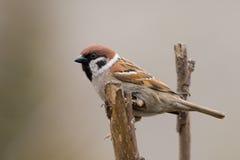 tree för sparrow för akamontanusförbipasserande Royaltyfri Fotografi