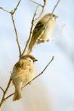 tree för sparrow för eurasianmontanusförbipasserande Fotografering för Bildbyråer