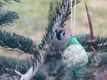 tree för sparrow för eurasianmontanusförbipasserande Royaltyfri Fotografi