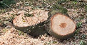 tree för stubbe för skoggrönskachampinjon Fotografering för Bildbyråer